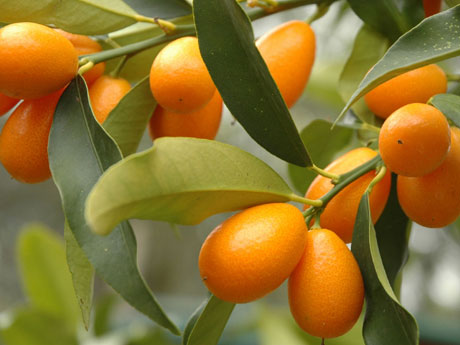 Santa Barbara Nagami Kumquat Tree