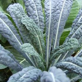 Santa Barbara Vegetable Plants