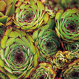Santa Barbara Perennials