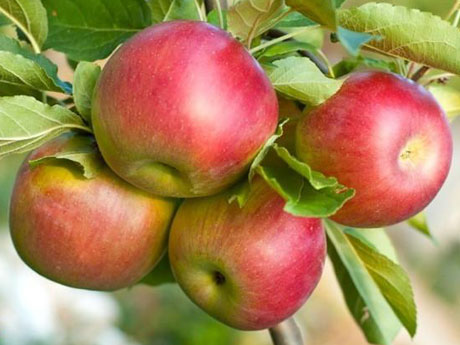 Fuji Apple Trees for Sale - Santa Barbara