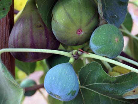 Mission Fig Trees for Sale - Santa Barbara
