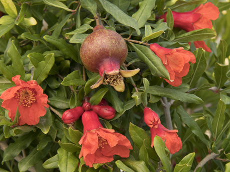 Pomegranate Trees for Sale Santa Barbara