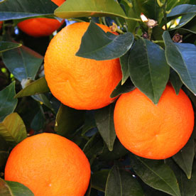 Santa Barbara Citrus Trees for Sale