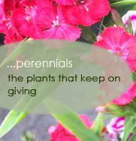 Perennial Plants for Sale Santa Barbara