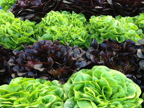 Lettuce Plants for Sale - Santa Barbara