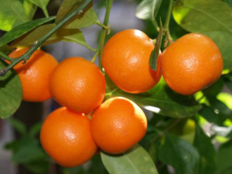 Mandarin Orange Trees for Sale - Santa Barbara