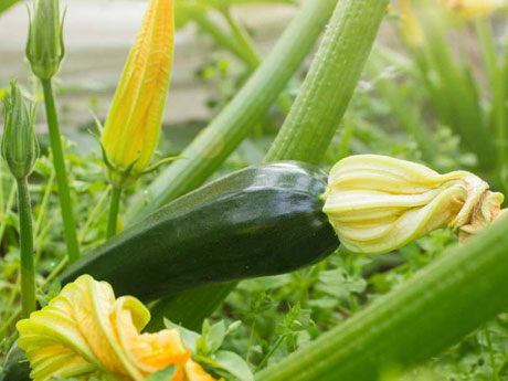 Zucchini Plants for Sale - Santa Barbara